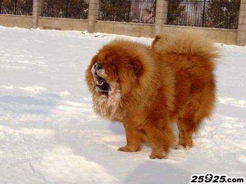 ROBIN 松狮犬种公 松狮犬图片 松狮图片