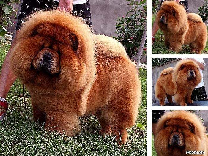 CASH,Father of the chow chow champion breed Chow Chow males photos Photos
