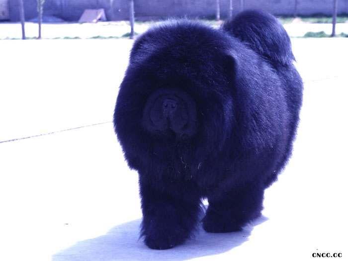 熊仔 纯种美系黑色松狮种公图片 松狮犬图片照片-2
