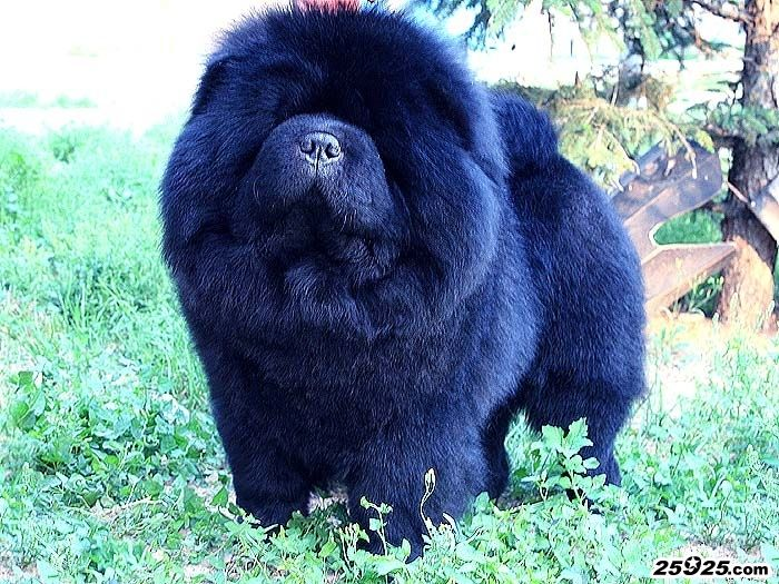 顶级种公黑色松狮犬牛牛图片 松狮犬图片