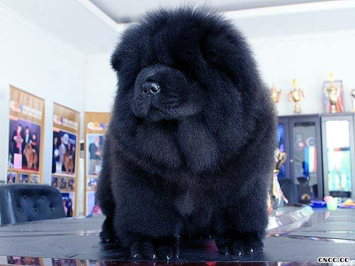 09年现金和皇后的赛级黑色冠军级松狮幼犬图片1