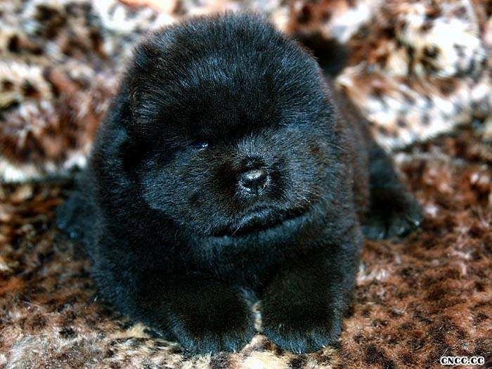 熊仔和蛮丫的黑色母松狮幼犬图片 Photos