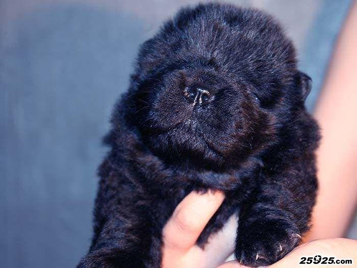 12年战神和皇后的黑色松狮幼犬图片