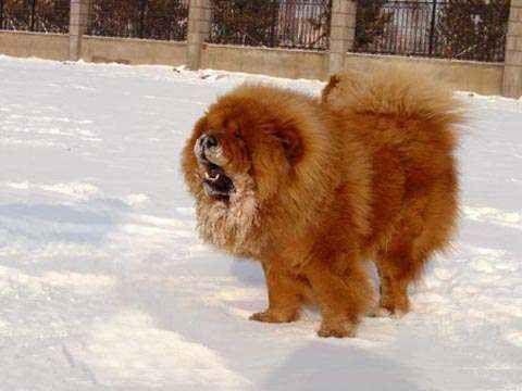 俄系松狮犬与美系松狮犬有什么区别