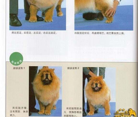 松狮犬比赛牵犬 松狮犬摆狗展示方法图例