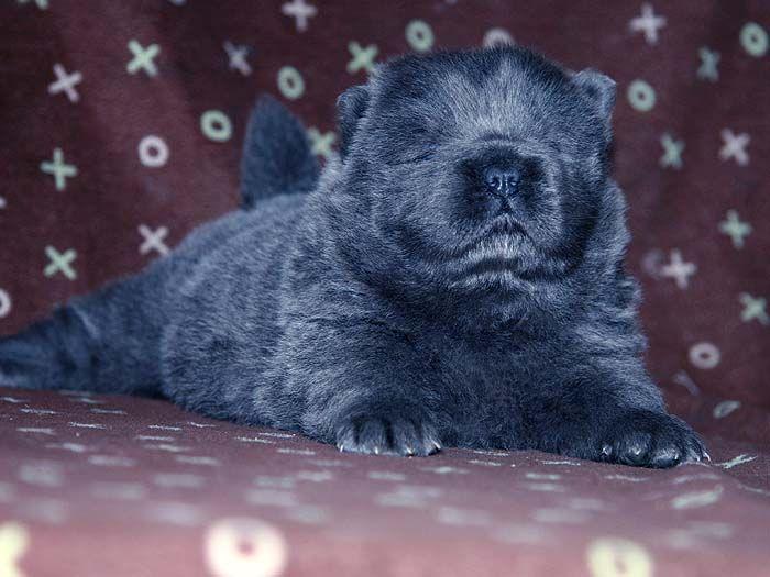 近一个月顶级纯种蓝色松狮犬图片蓝色松狮幼犬图片