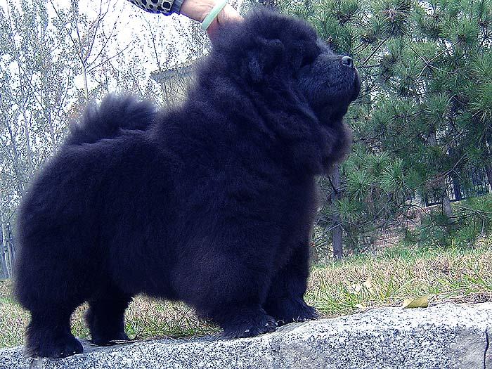 黑金熊 六万和战神的黑色松狮幼犬公犬图片图片