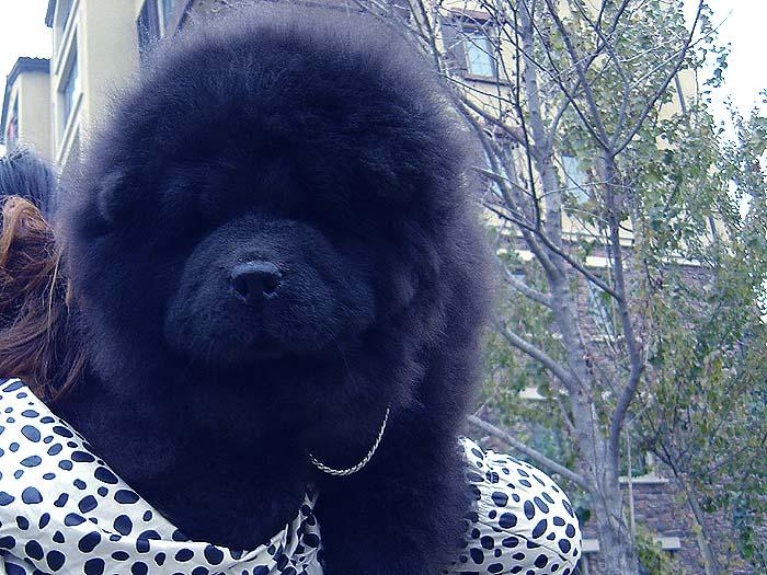 黑金熊 六万和战神的黑色松狮幼犬公犬图片 黑色松狮 黑色松狮图片 松狮犬图片