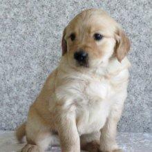 测试出纯种金毛犬幼犬3个月公犬图片