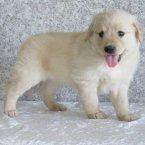 测试出售江苏纯种金毛犬幼犬3个月公犬图片