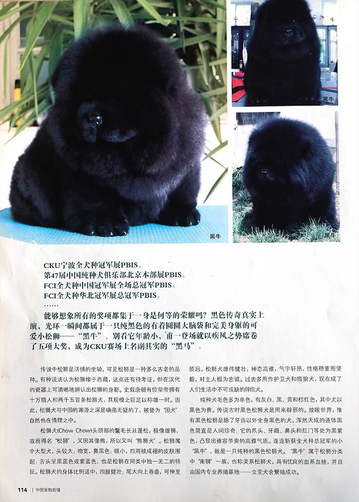 宠物杂志备案-黑旋风席卷松狮赛场-杂志图片2
