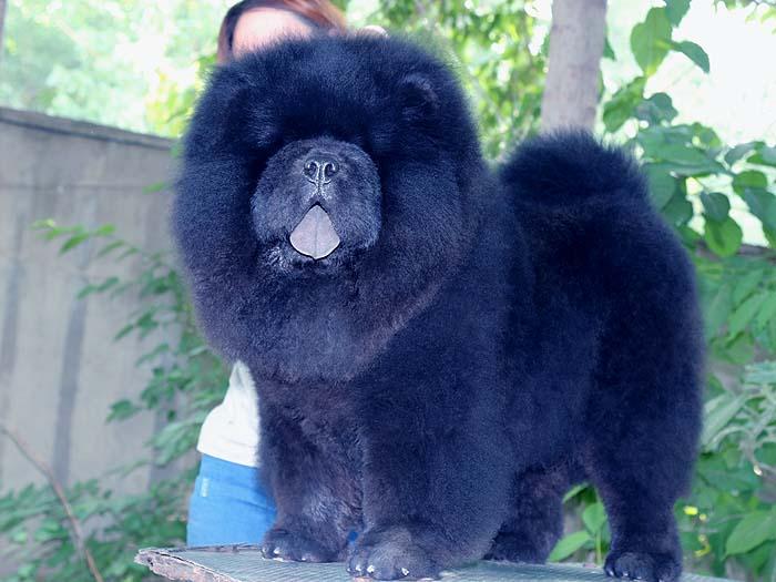 6个月顶级纯种黑色松狮犬公犬图片