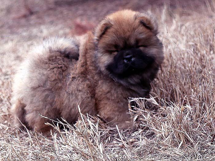 春节优惠红色赛级纯种松狮犬幼犬公-图片2