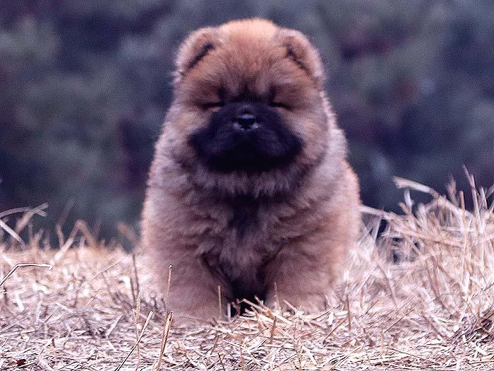 春节优惠红色赛级纯种松狮犬幼犬公-图片1