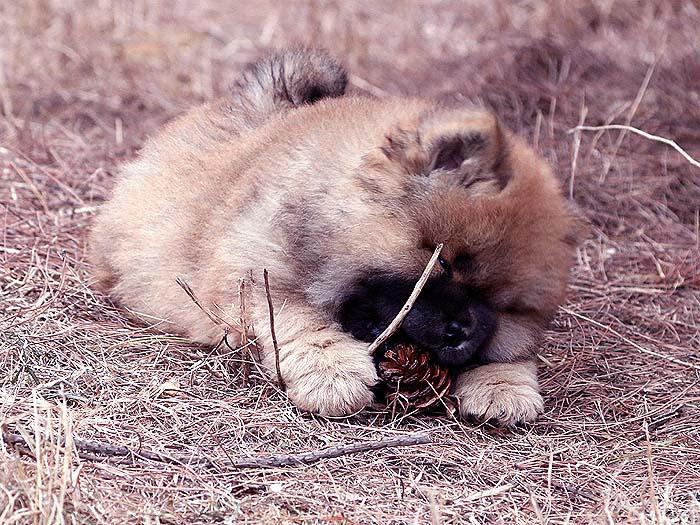 春节优惠红色赛级纯种松狮犬幼犬公-图片3