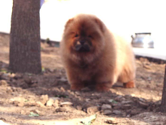 出售纯种松狮犬幼犬三个月公犬出售松狮犬幼犬 出售松狮犬 出售松狮 2