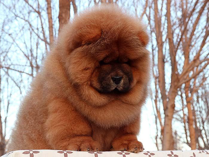 出售最后一窝小现金深红色松狮赛级公 出售松狮 出售松狮犬 深红松狮2