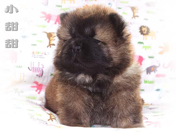 一窝红色赛级冠军级松狮幼犬图片照片1 Photos
