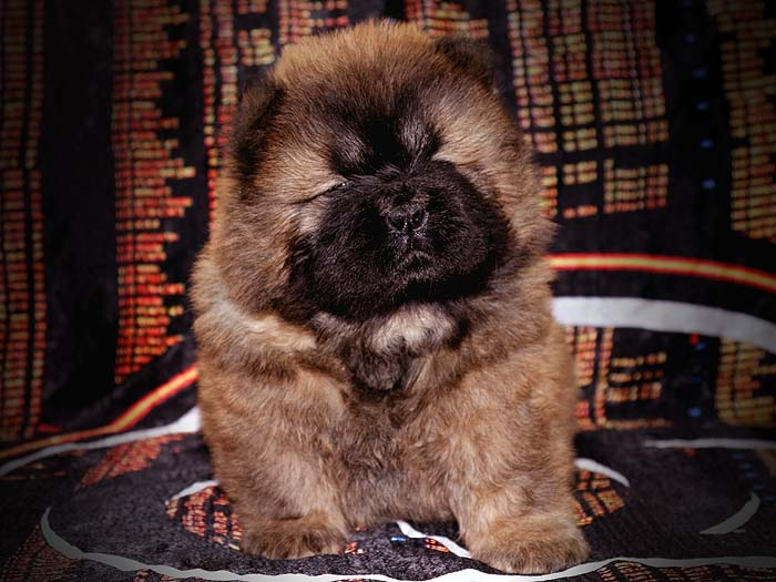 一窝红色赛级顶级松狮幼犬图片照片 松狮幼犬图片 松狮幼犬照片4