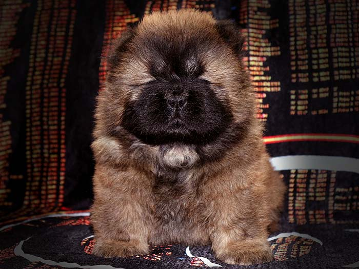 一窝红色赛级顶级松狮幼犬图片照片 松狮幼犬图片 松狮幼犬照片5
