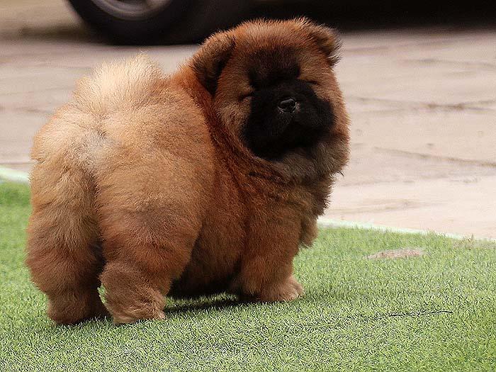 一条松狮犬母犬幼犬图片松狮犬幼犬照片 松狮幼犬照片 松狮犬照片 松狮照片1