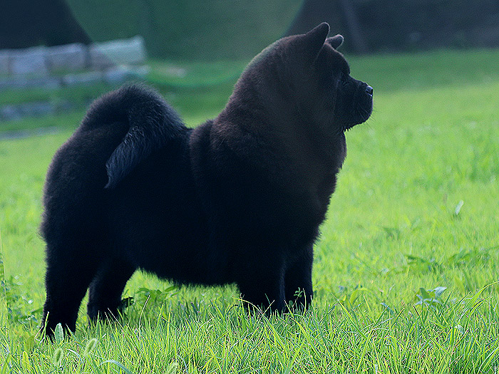 Photo of a three-month-old purebred black Short hair Chow Chow  Photos