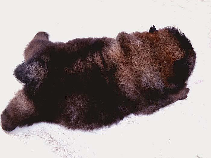 世界范围优秀松狮犬满月图片纯种松狮犬照片图片